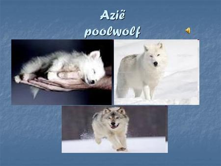 Azië poolwolf.