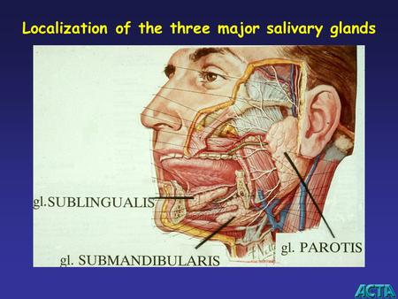 Localization of the three major salivary glands