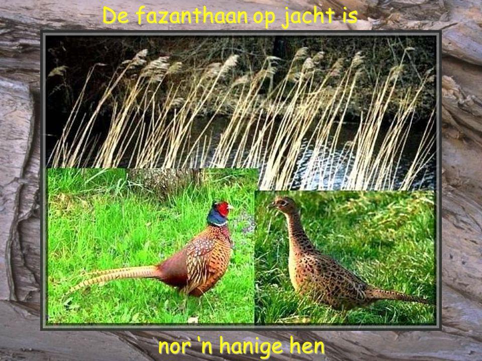 De fazanthaan op jacht is De fazanthaan op jacht is nor 'n hanige hen nor 'n hanige hen