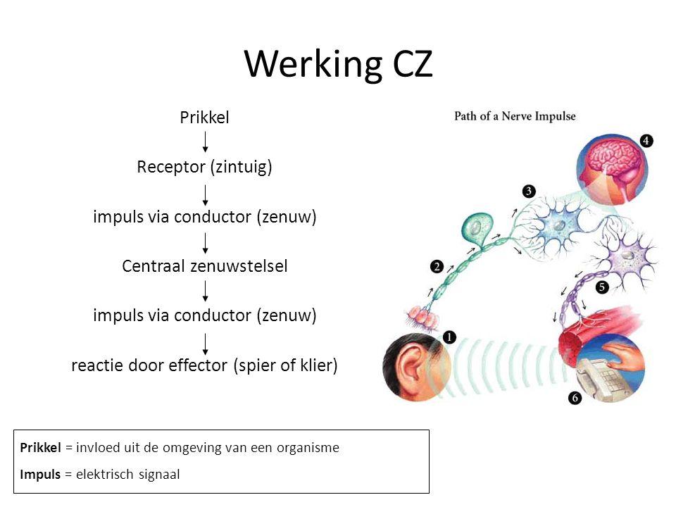 Bouw van een zenuw Axon (Neuriet) = uitloper die impuls van het cellichaam af geleidt Dendriet = uitloper die impuls naar cellichaam toe geleidt