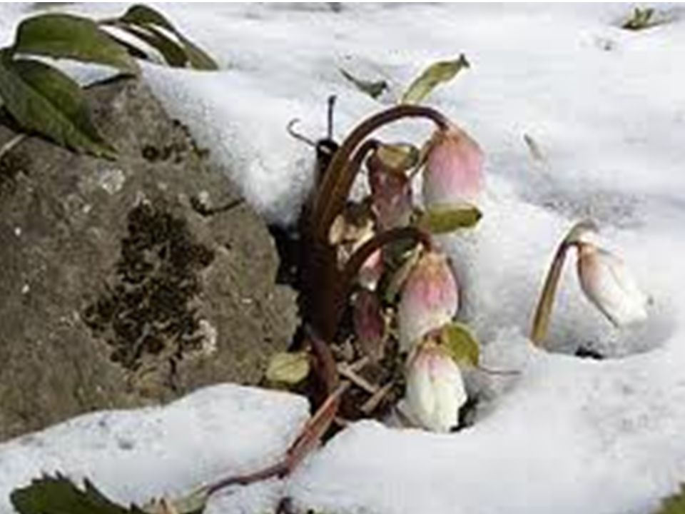 Sankaran: In normal circumstances, Helleborus persons live with a tremendous dullness; nothing interests them anymore.