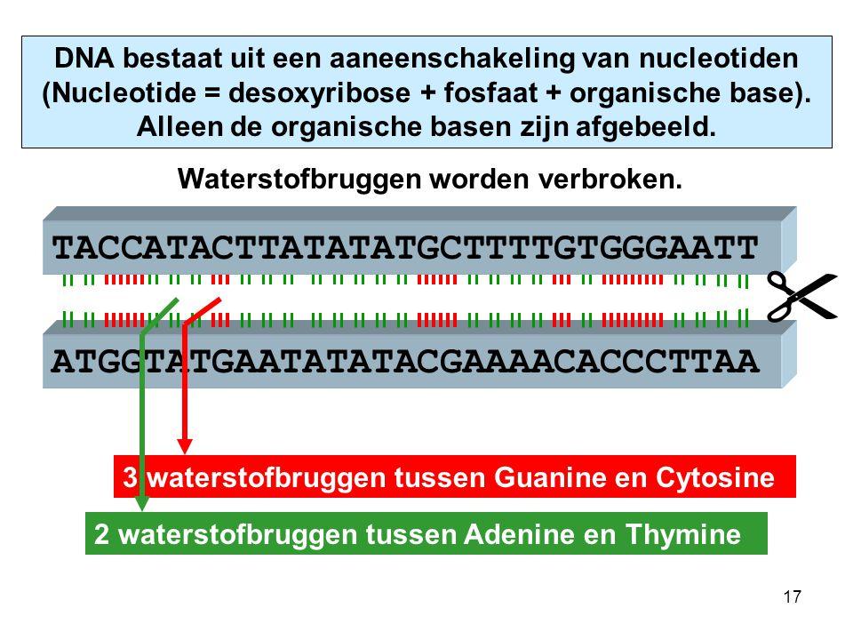 ATGGTATGAATATATACGAAAACACCCTTAA TACCATACTTATATATGCTTTTGTGGGAATT primair messenger-RNA m-RNA-polymerase schuift over DNA-enkelstreng en maakt primair m-RNA via een polymerisatieproces.