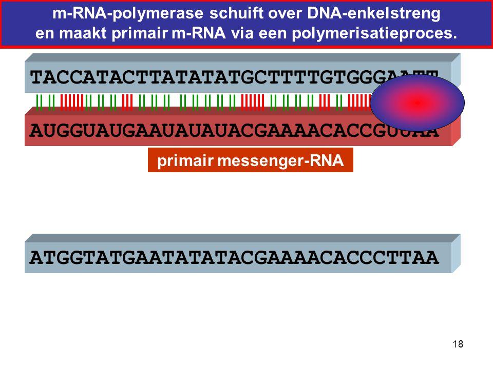 ATGGTATGAATATATACGAAAACACCCTTAA AUGGUAUGAAUAUAUACGAAAACACCGUUAA  TACCATACTTATATATGCTTTTGTGGGAATT primair messenger-RNA 19
