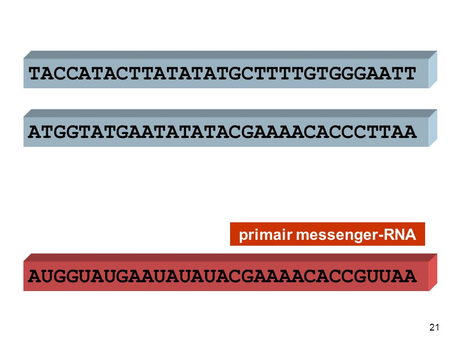 ATGGTATGAATATATACGAAAACACCCTTAA TACCATACTTATATATGCTTTTGTGGGAATT AUGGUAUGAAUAUAUACGAAAACACCGUUAA DNA primair messenger-RNA 22