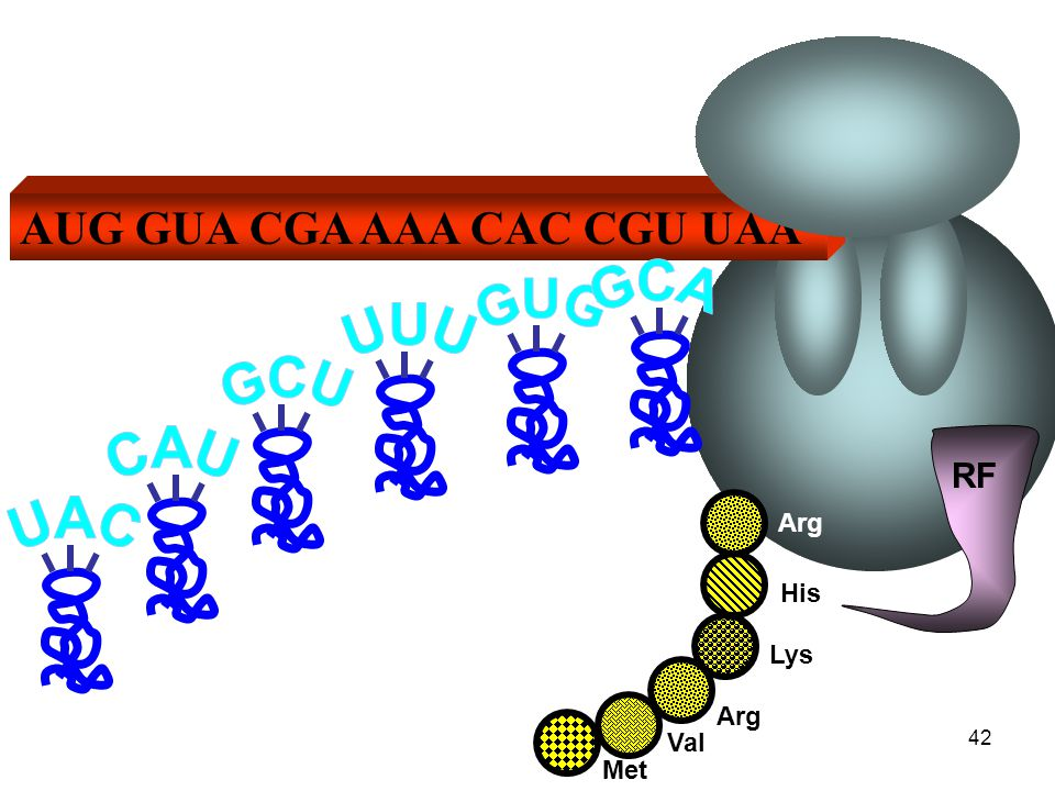 AUG GUA CGA AAA CAC CGU UAA RF EIWIT t-RNA-molecylen worden weer voorzien van hun juiste aminozuren Met ValArg Lys His Arg 43