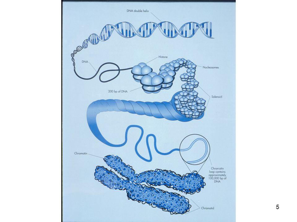 DNA-molecule (chromatinedraad) Cel Kern Gen Chromosomen DNA 6