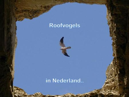 Roofvogels in Nederland...