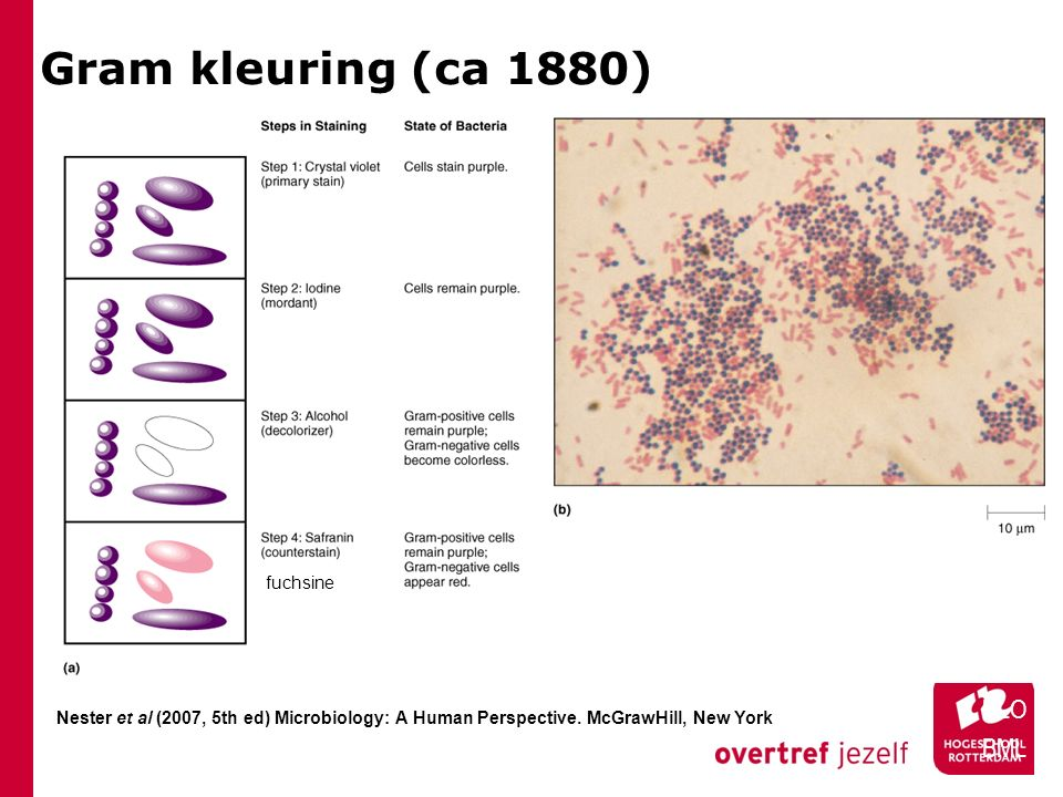 Kapsel: K-antigen HLO BML Het kapsel bestaat uit LPS en soms ook uit exopolysaccharide (EPS), ook wel capsular polysaccharides (CPS) Functie is hechting, en bescherming tegen uitdroging