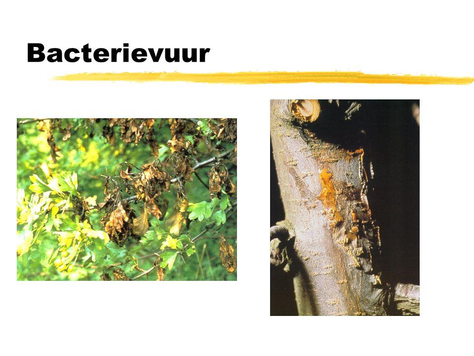 Bacterieziektes zBestrijding vooral gericht op bedrijfshygiene zVerwijderen zieke planten zWerken met ontsmet (snoei)gereedschap zVerdachte bomen/struiken als laatste snoeien