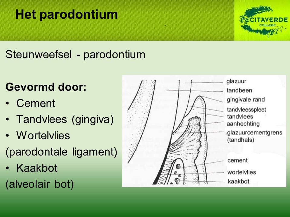 Het parodontium Steunweefsel - parodontium Gevormd door: Cement