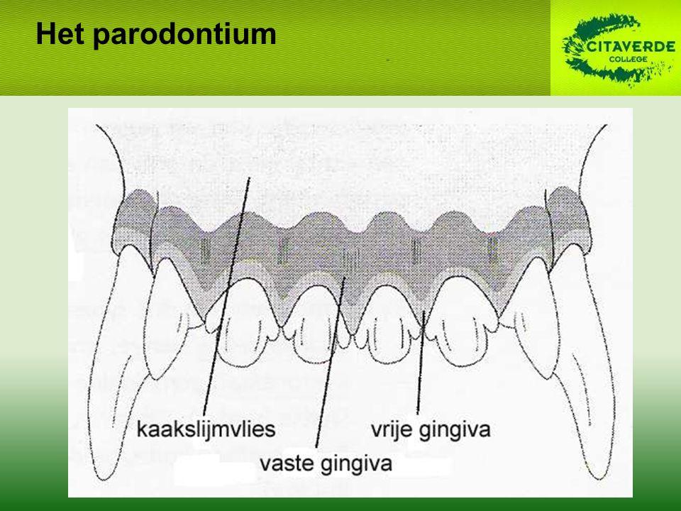 Het parodontium