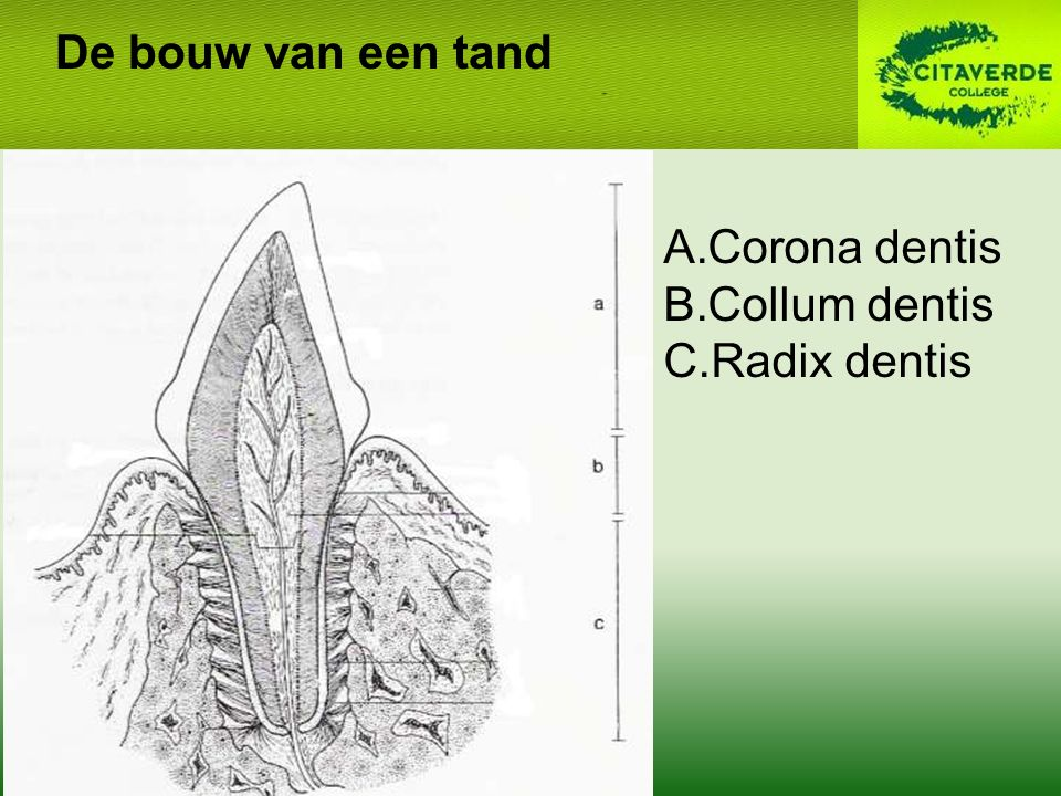 De bouw van een tand Corona dentis Collum dentis Radix dentis