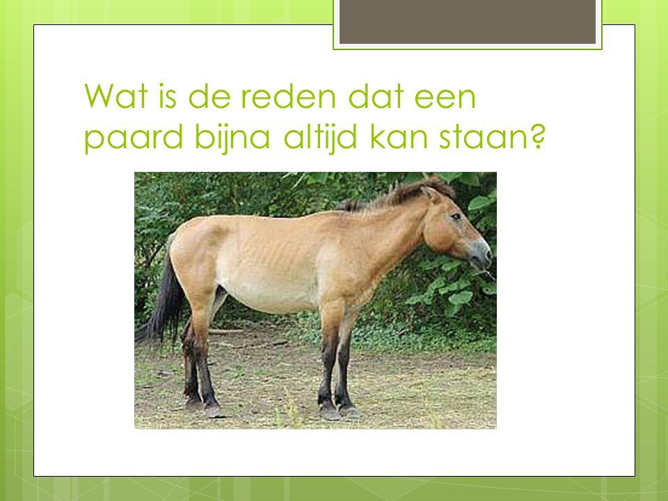 Wat is de reden dat een paard bijna altijd kan staan