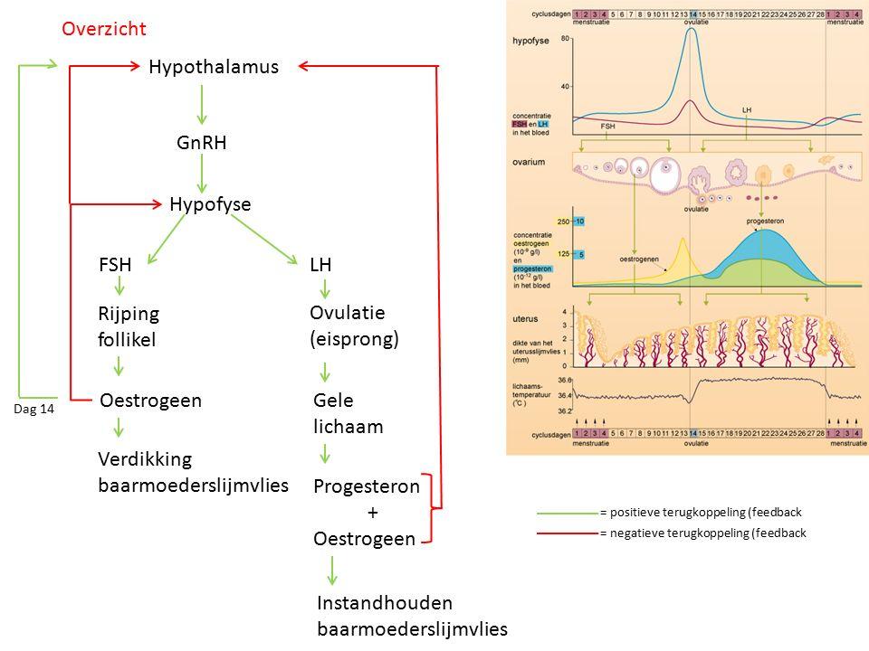 baarmoederslijmvlies Progesteron + Oestrogeen