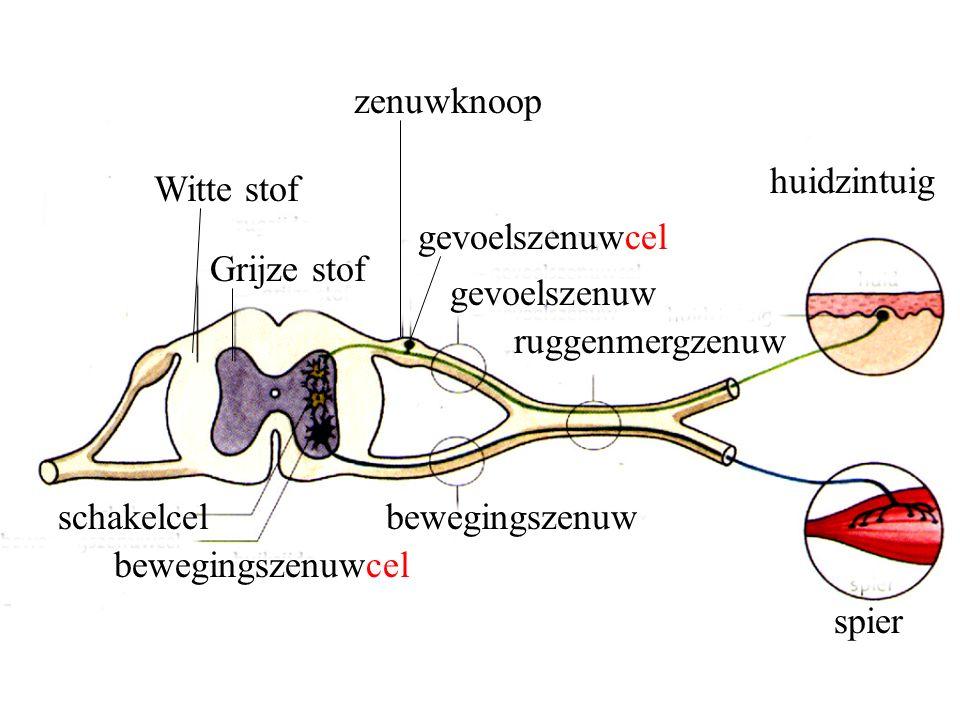 zenuwknoop huidzintuig. Witte stof. gevoelszenuwcel. Grijze stof. gevoelszenuw. ruggenmergzenuw.