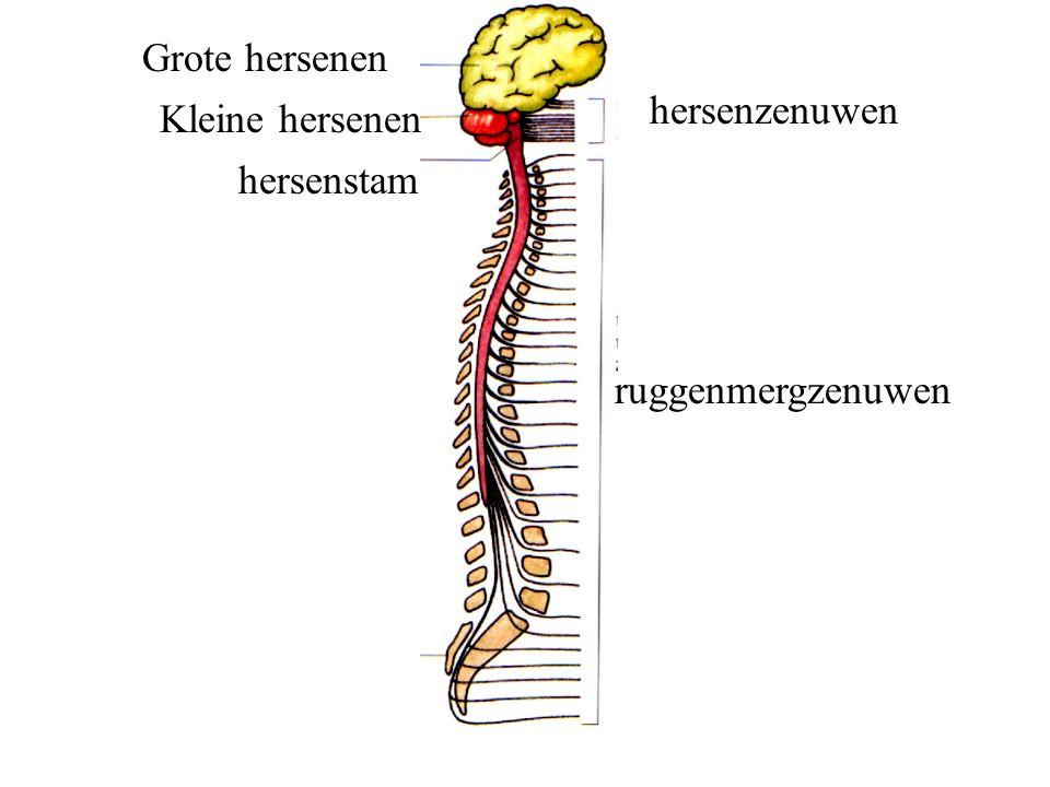 Grote hersenen hersenzenuwen Kleine hersenen hersenstam ruggenmergzenuwen