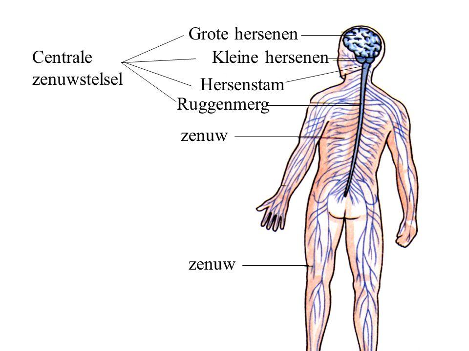 Grote hersenen Centrale zenuwstelsel Kleine hersenen Hersenstam Ruggenmerg zenuw zenuw