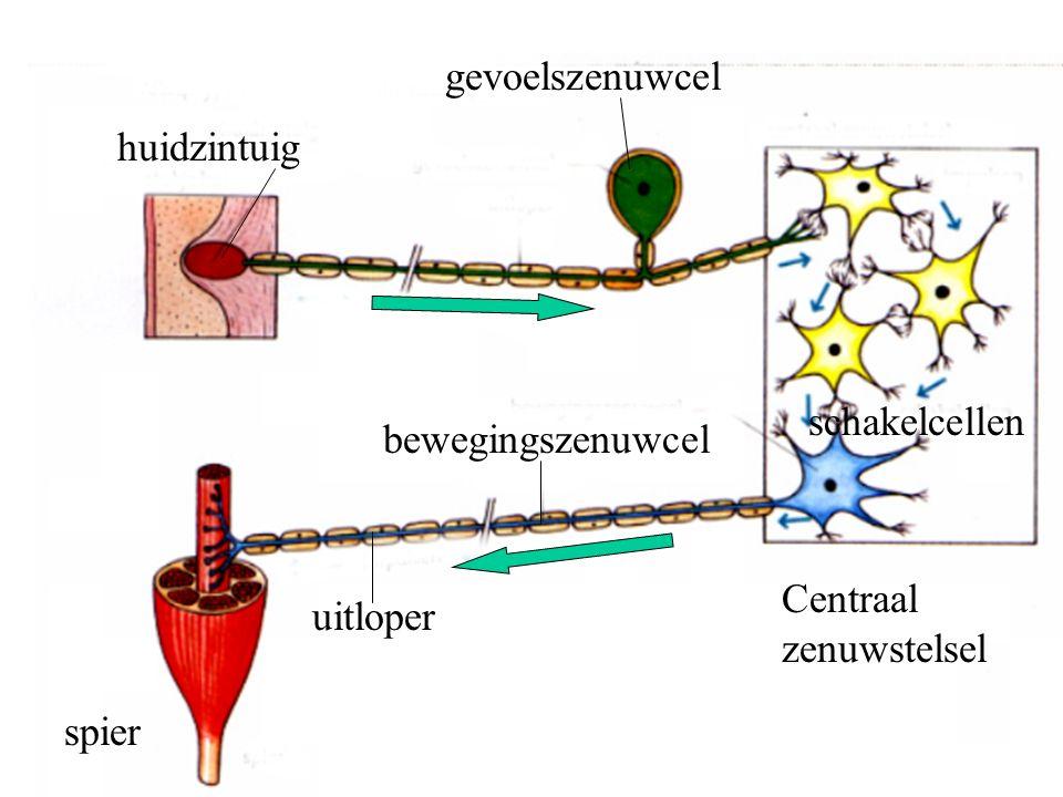 gevoelszenuwcel huidzintuig schakelcellen bewegingszenuwcel Centraal zenuwstelsel uitloper spier