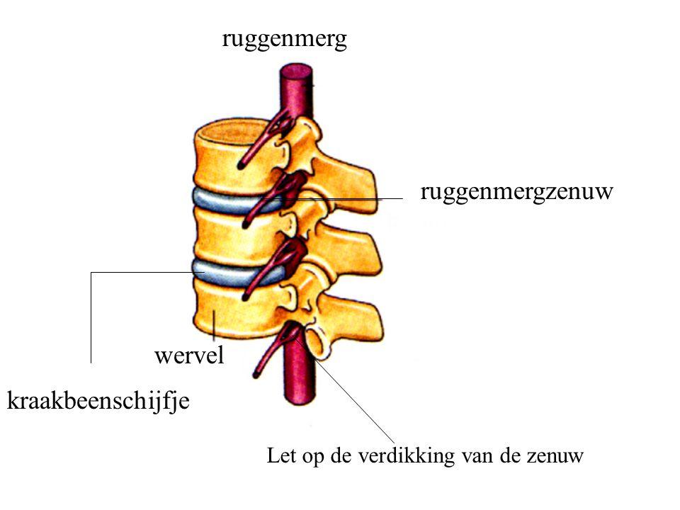 ruggenmerg ruggenmergzenuw wervel kraakbeenschijfje