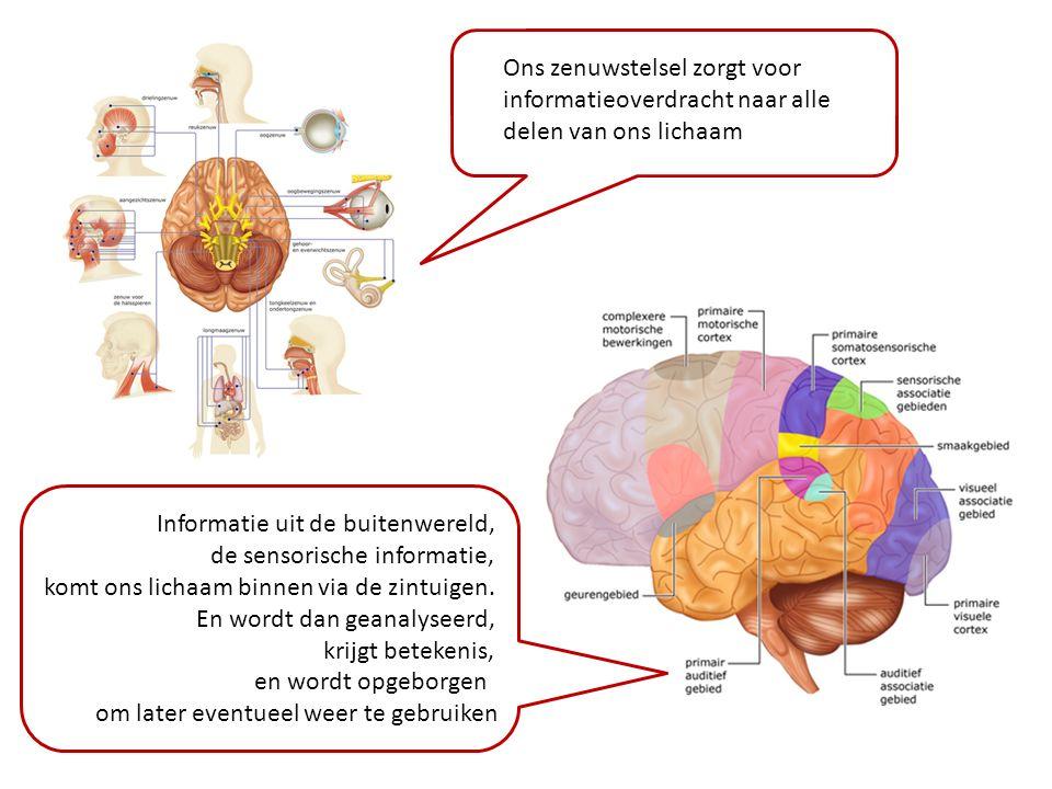 Ons zenuwstelsel zorgt voor