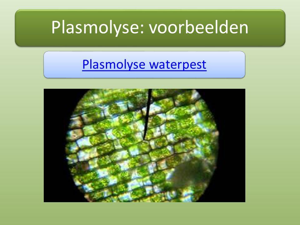 Plasmolyse: voorbeelden