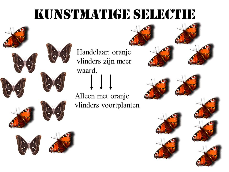 Kunstmatige selectie Handelaar: oranje vlinders zijn meer waard.