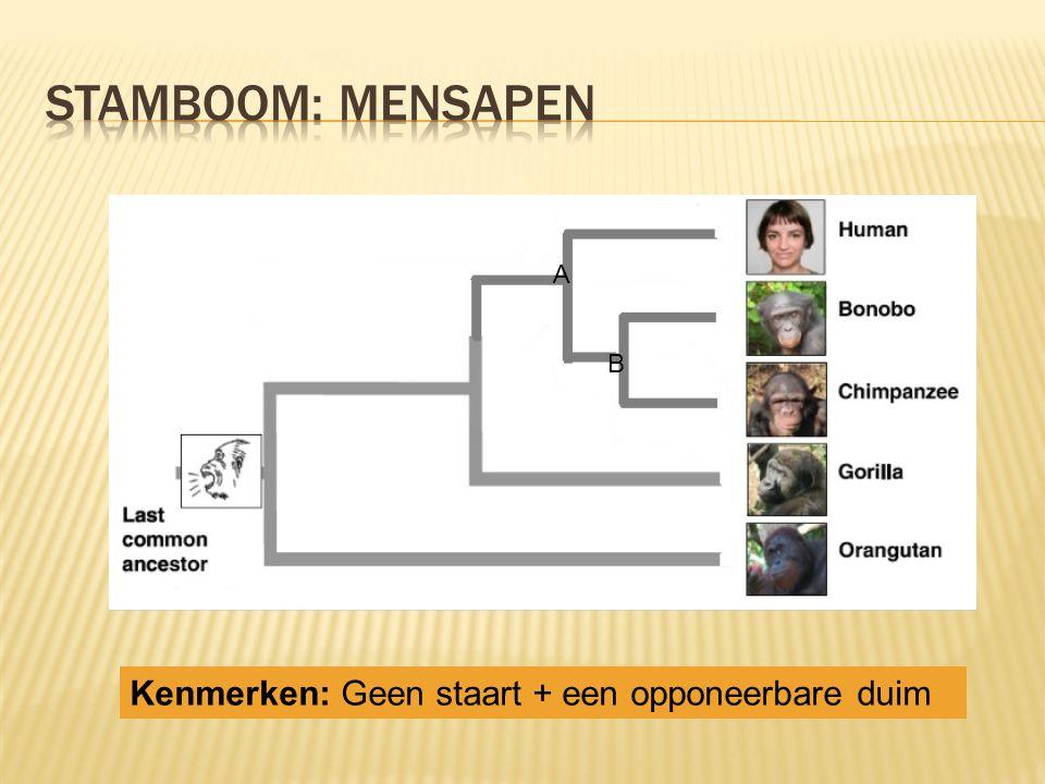 Stamboom: mensapen A B Kenmerken: Geen staart + een opponeerbare duim