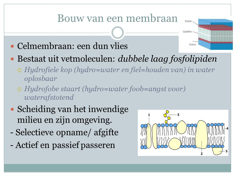 Bouw van een membraan Celmembraan: een dun vlies