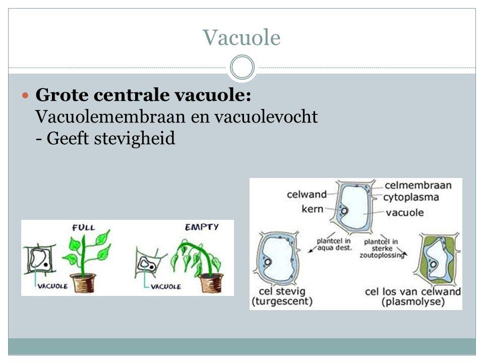Vacuole Grote centrale vacuole: Vacuolemembraan en vacuolevocht - Geeft stevigheid