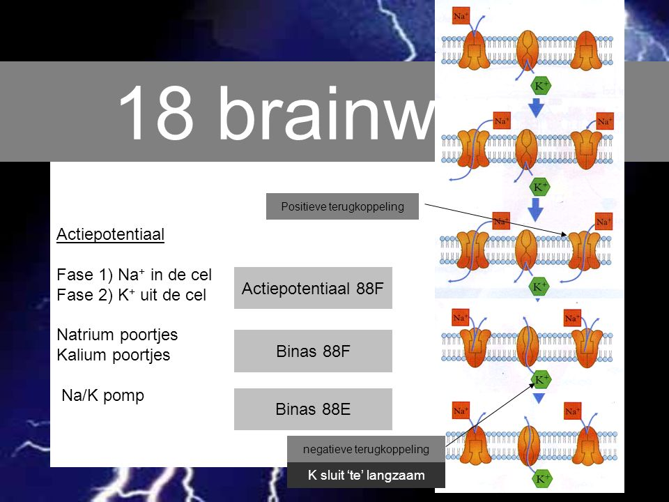 18 brainwave Actiepotentiaal Fase 1) Na+ in de cel