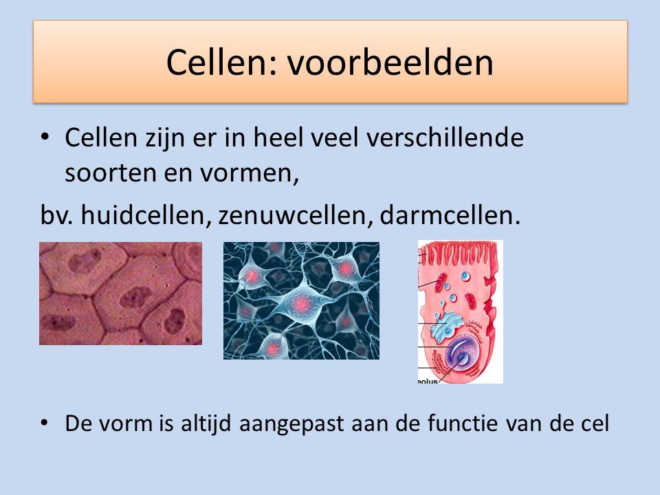Cellen: voorbeelden Cellen zijn er in heel veel verschillende soorten en vormen, bv. huidcellen, zenuwcellen, darmcellen.