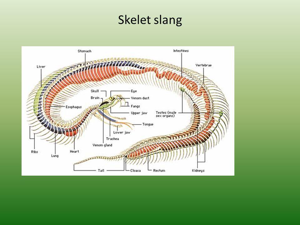 Skelet slang