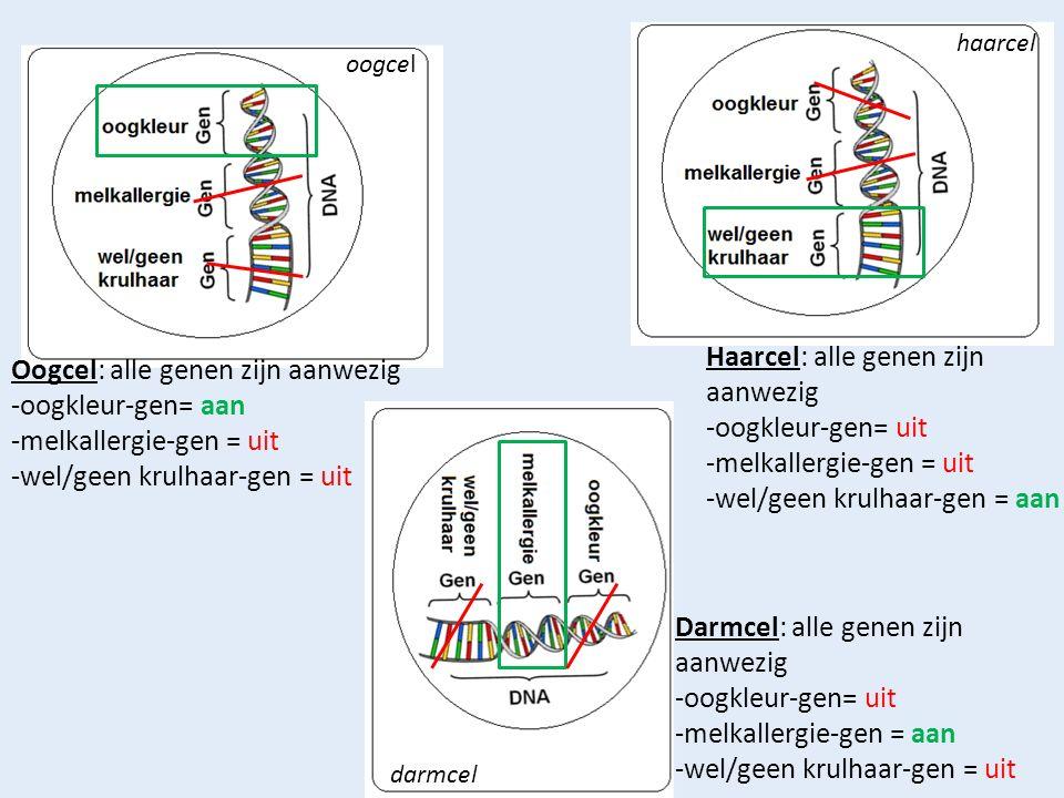 Haarcel: alle genen zijn aanwezig -oogkleur-gen= uit