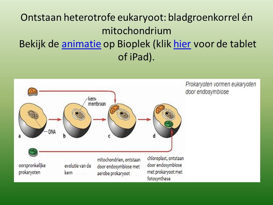 Ontstaan heterotrofe eukaryoot: bladgroenkorrel én mitochondrium Bekijk de animatie op Bioplek (klik hier voor de tablet of iPad).