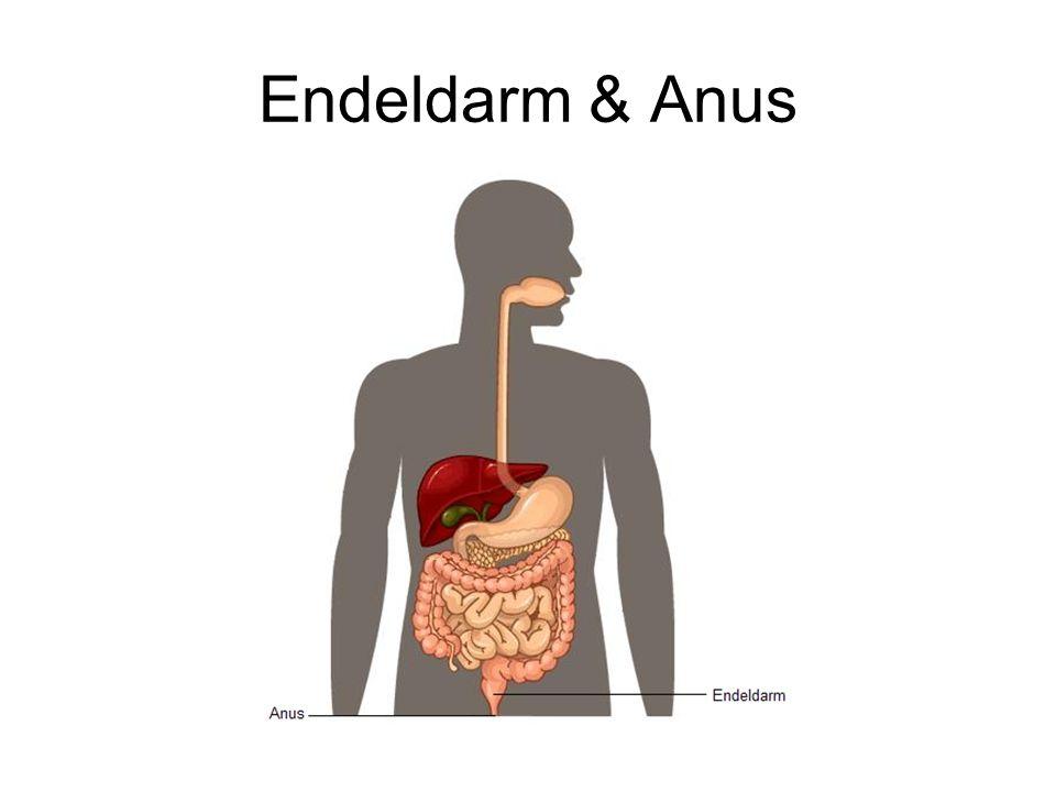 Endeldarm & Anus