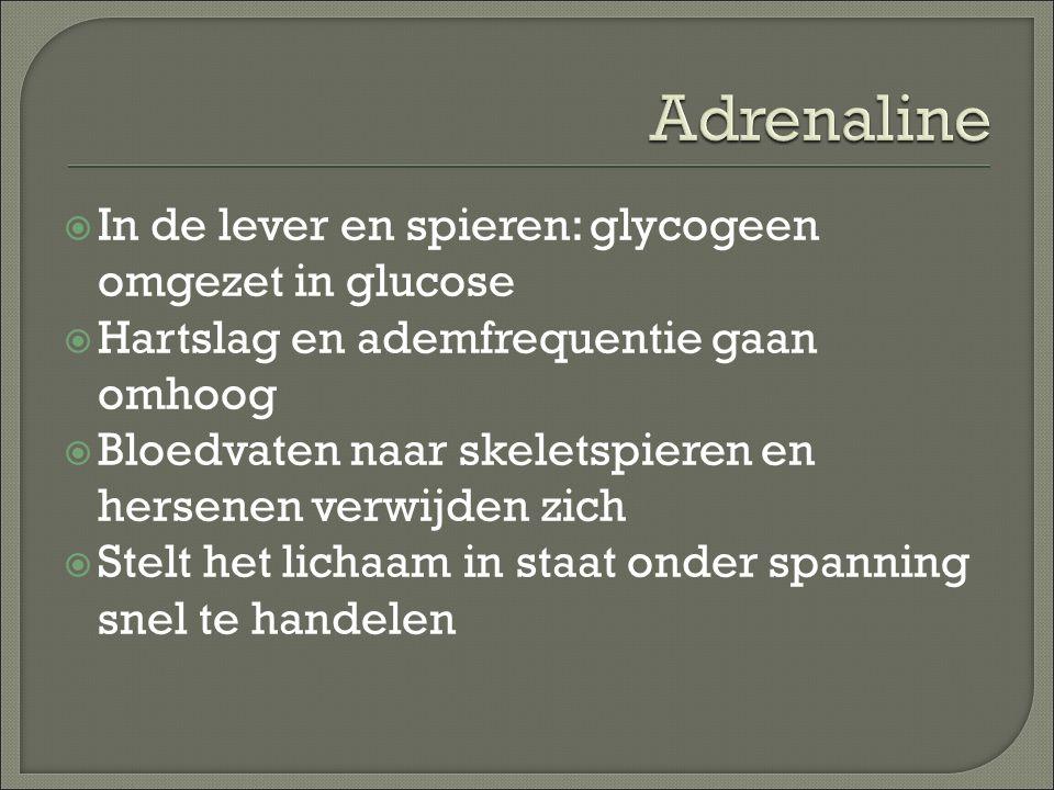 Adrenaline In de lever en spieren: glycogeen omgezet in glucose