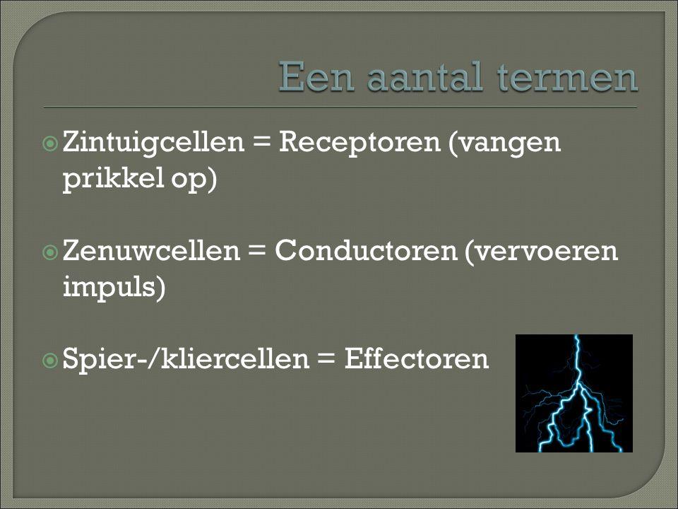 Een aantal termen Zintuigcellen = Receptoren (vangen prikkel op)