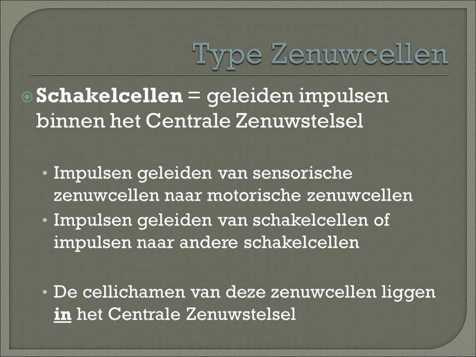 Type Zenuwcellen Schakelcellen = geleiden impulsen binnen het Centrale Zenuwstelsel.