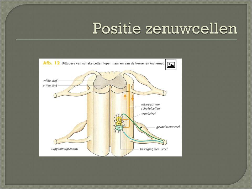 Positie zenuwcellen