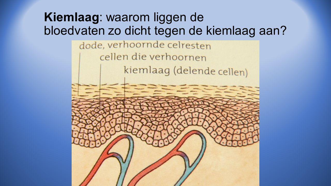 Kiemlaag: waarom liggen de bloedvaten zo dicht tegen de kiemlaag aan