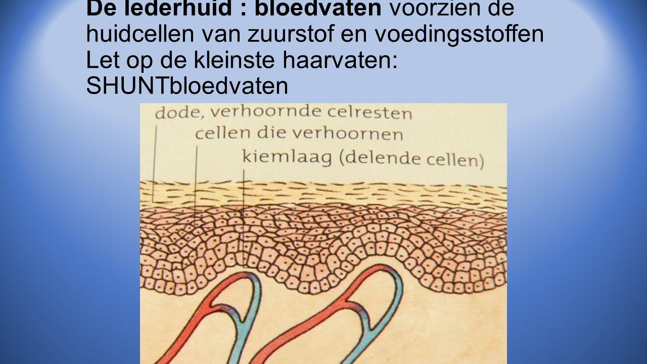 De lederhuid : bloedvaten voorzien de huidcellen van zuurstof en voedingsstoffen Let op de kleinste haarvaten: SHUNTbloedvaten