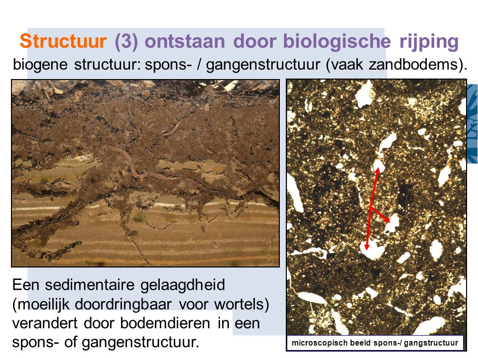 Structuur (3) ontstaan door biologische rijping