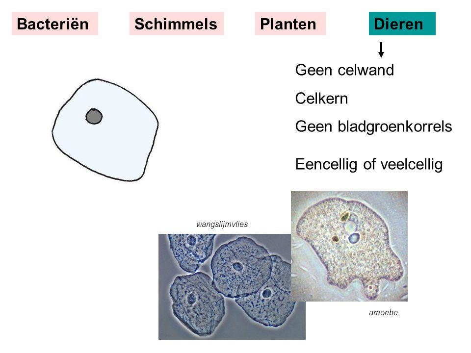 Geen bladgroenkorrels Eencellig of veelcellig