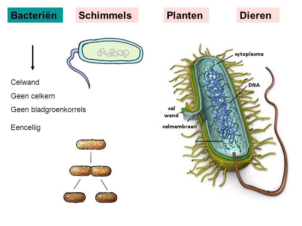 Bacteriën Schimmels Planten Dieren Celwand Geen celkern