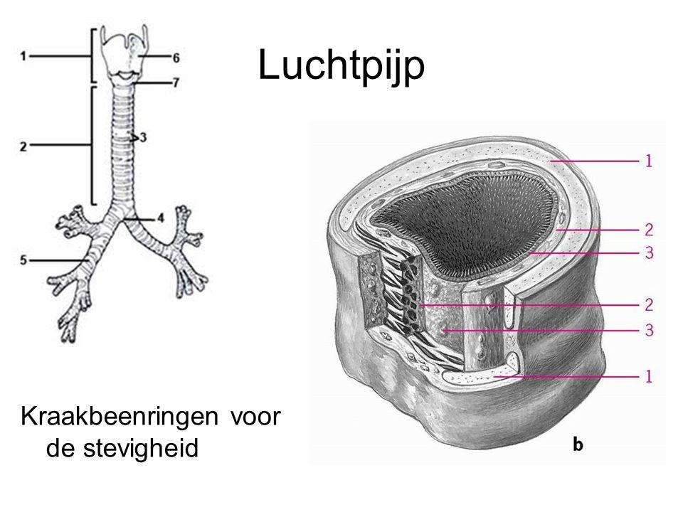 Luchtpijp Kraakbeenringen voor de stevigheid