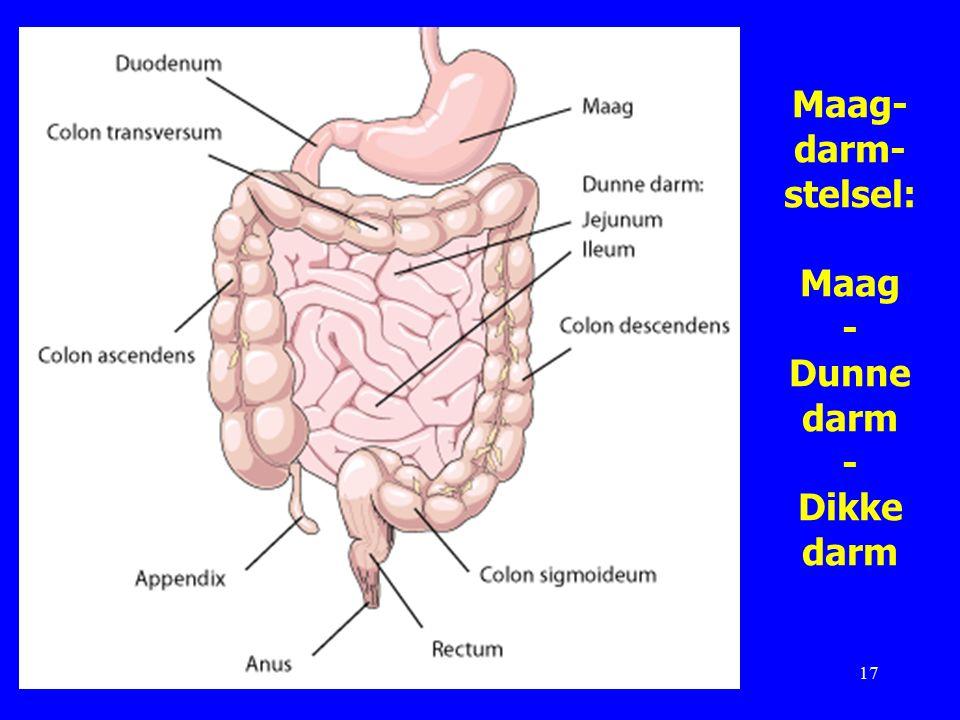 Maag-darm-stelsel: Maag - Dunne darm - Dikke darm