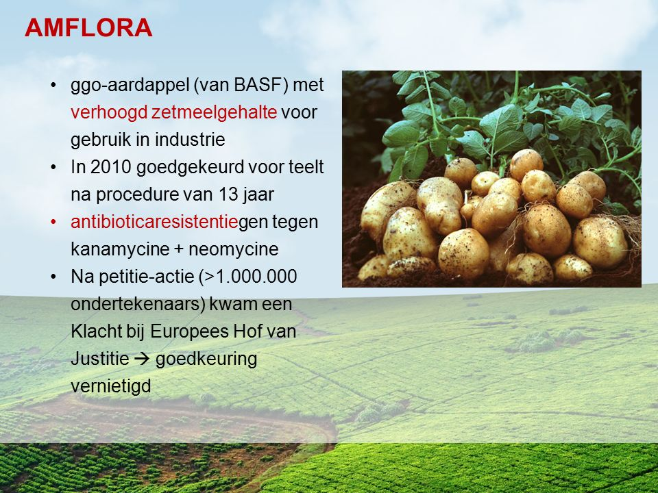 AMFLORA ggo-aardappel (van BASF) met verhoogd zetmeelgehalte voor gebruik in industrie. In 2010 goedgekeurd voor teelt na procedure van 13 jaar.