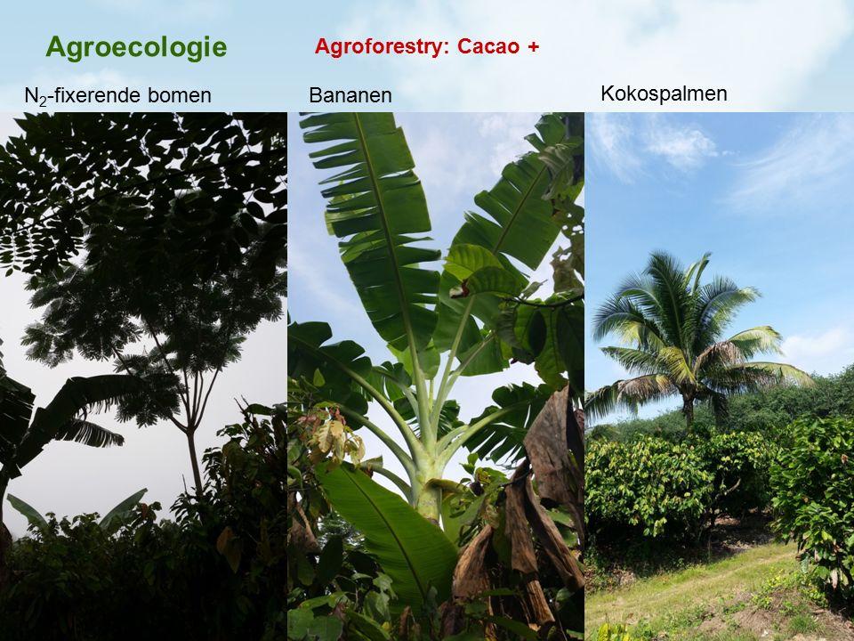 Agroecologie Agroforestry: Cacao + N2-fixerende bomen Bananen