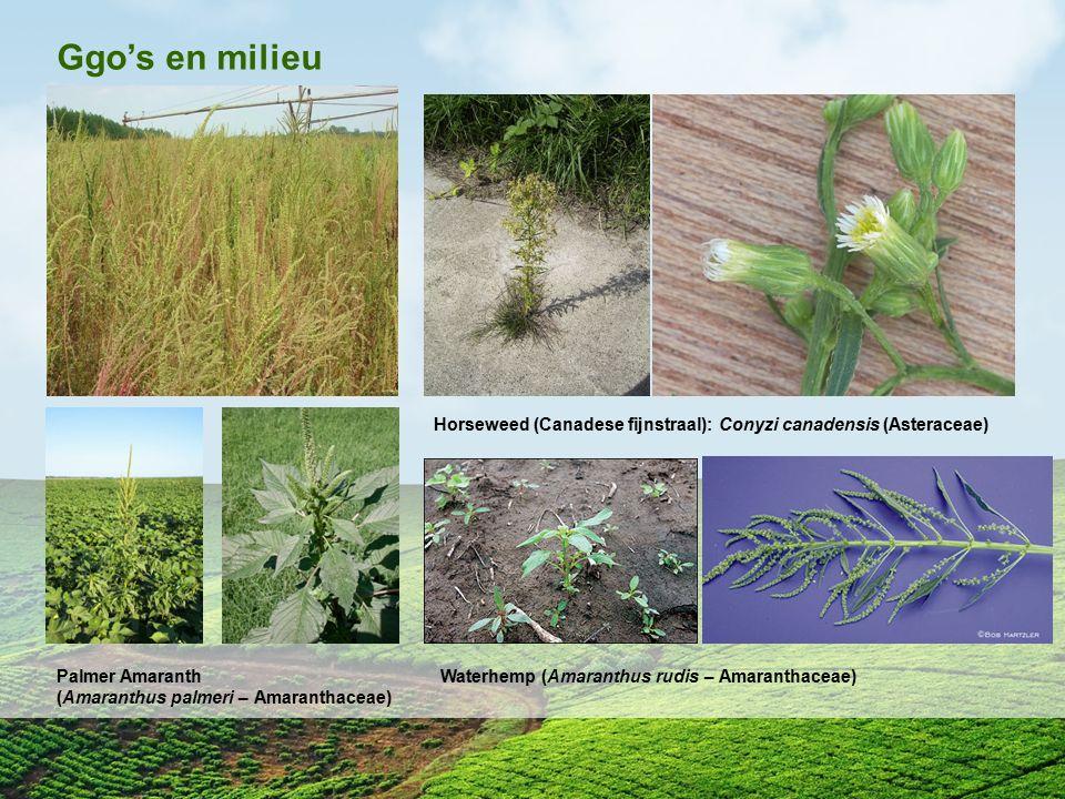 Ggo's en milieu Horseweed (Canadese fijnstraal): Conyzi canadensis (Asteraceae) Palmer Amaranth. (Amaranthus palmeri – Amaranthaceae)