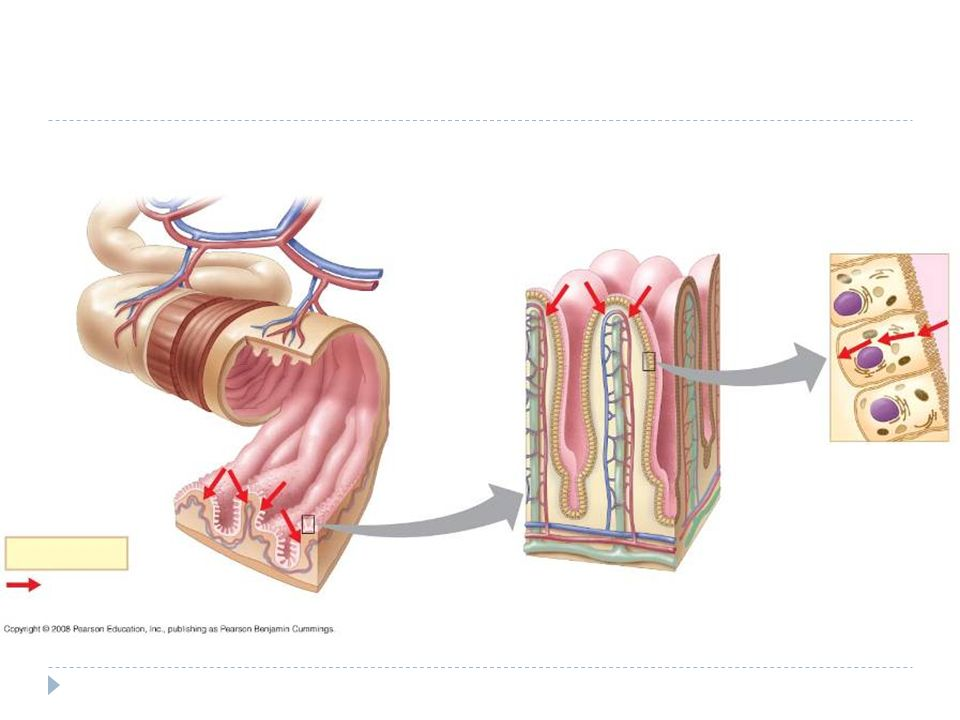 Absorbatie via epitheelcellen in het bloed